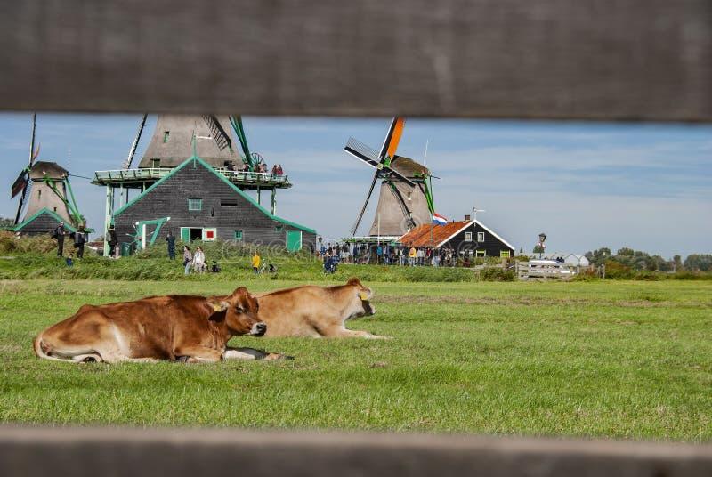 Kühe mit traditionellen niederländischen Windmühlen in Zaanse Schans in den Niederlanden stockfoto