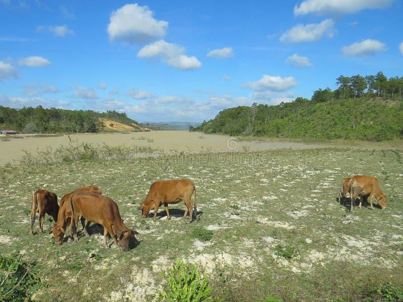 Kühe nahe Dalat-Stadt, Vietnam an einem Sommertag stockfotos