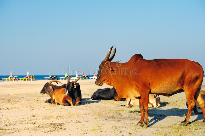 Kühe am Strand lizenzfreie stockfotos