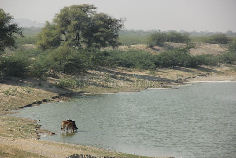 Kühe trinken vom Fluss stockbilder