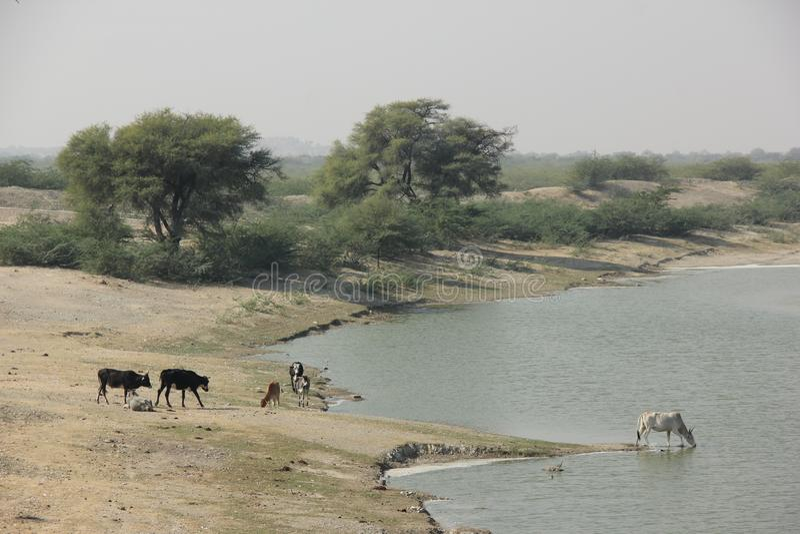 Kühe trinken vom Fluss stockfotos
