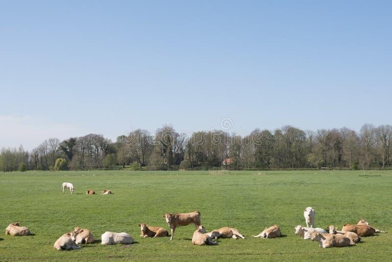 Kühe und calfs jungen blonden d 'Aquitanien in der grünen Frühlingslandschaft nahe niederländischer Stadt von geldermalsen lizenzfreies stockbild