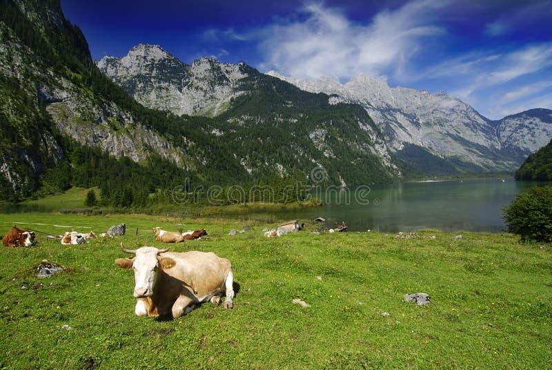 Kühe und Koenigssee lizenzfreie stockbilder