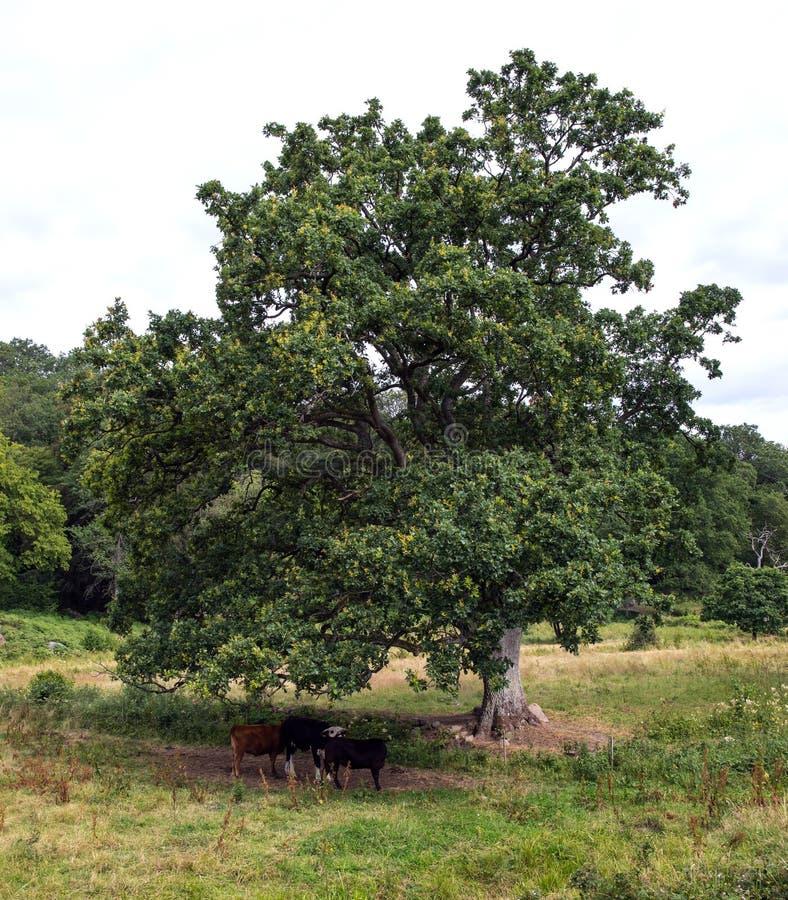 Kühe unter Baum stockbild