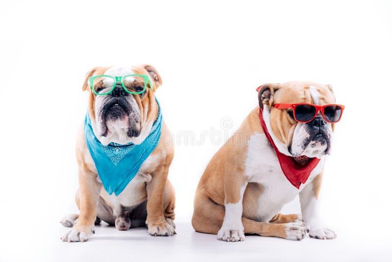 Kühle englische Bulldoggen lizenzfreie stockfotos