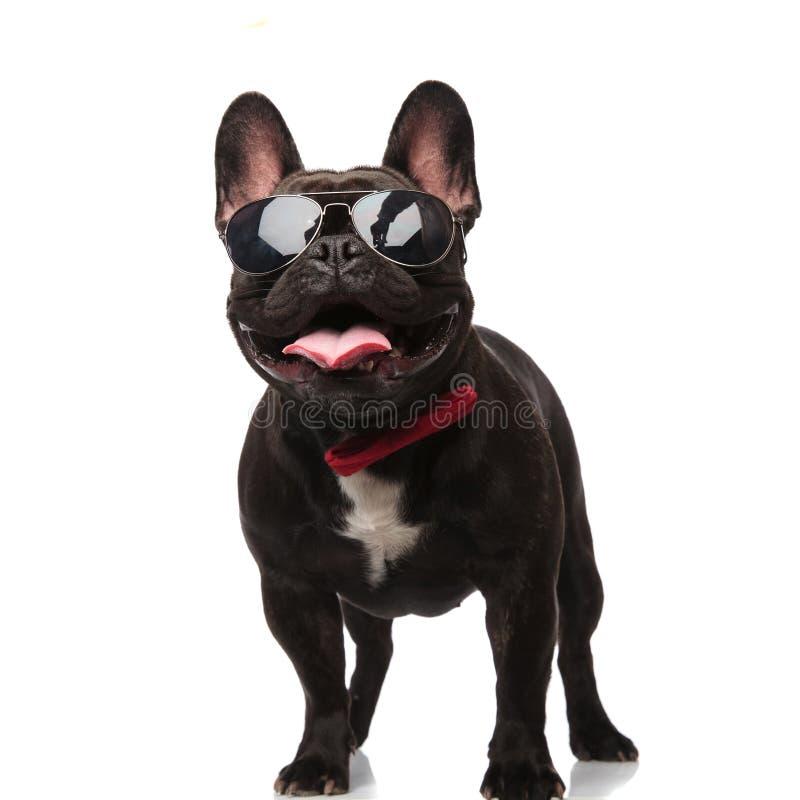 Kühle französische Bulldogge mit Sonnenbrille und bowtie schaut oben lizenzfreies stockbild