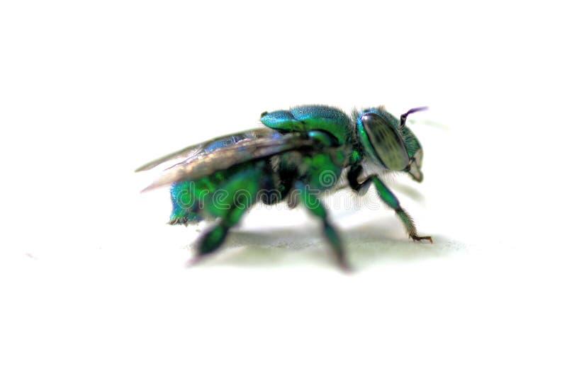 Kühle grüne Fliege mit weißem Hintergrund stockbild