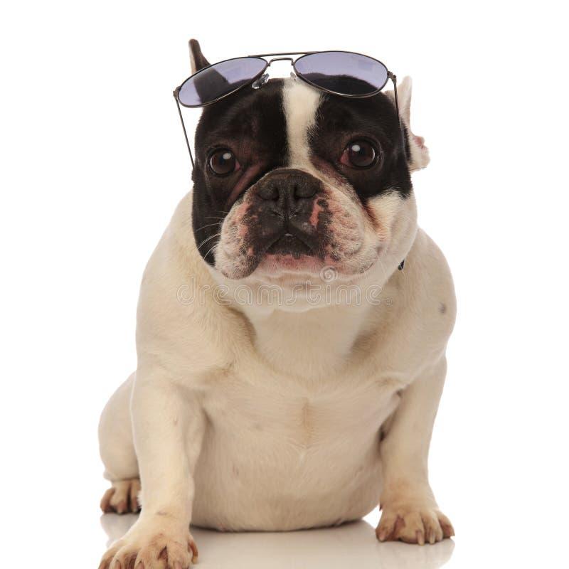 Kühle tragende Sonnenbrille der französischen Bulldogge auf Stirn stockfotos