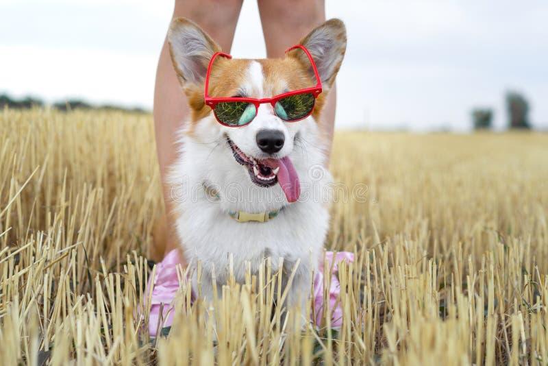 Kühler Waliser-Corgi Pembrokehund, der die rote Sonnenbrille heraus haftet Ihre Zunge, im Urlaub für einen Weg mit seinem Meister stockbilder
