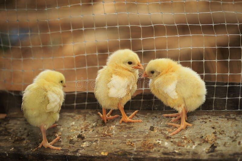 Küken auf einem Hühnerbauernhof stockfotos