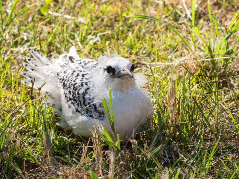 Küken des tropischen Vogels, das das Nest zu früh ging, Weihnachtsinsel, Australien stockfotografie