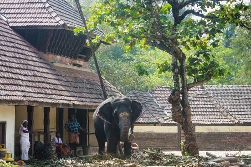 Kümmern von  um Elefanten, Guruvayoor stockbild