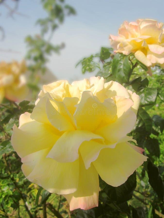Künstlerische fokussierte Rosen stockfotos