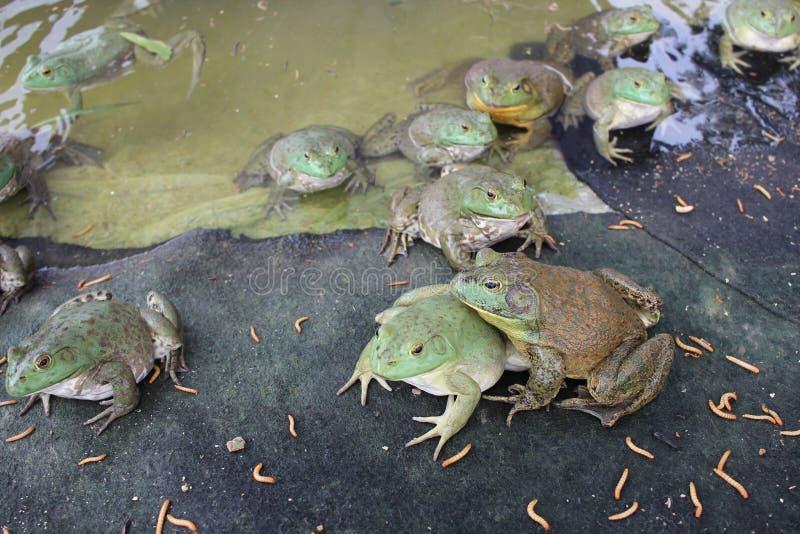 Künstliche Fütterung des Ochsenfrosches stockbilder