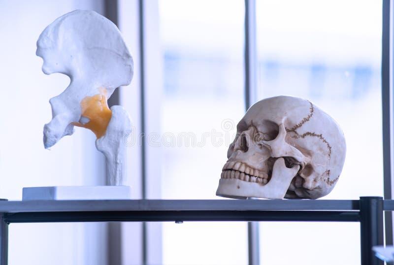 Künstliches Skelett wie Schädel, Knochen und Zähne in den Colleges und im Hochschullabor lizenzfreies stockbild