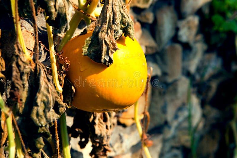 Download Kürbis stockfoto. Bild von gelb, ernte, landwirtschaft - 26354186