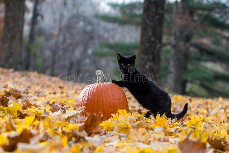 Kürbis, schwarze Katze und Fallblätter im Wald lizenzfreies stockbild
