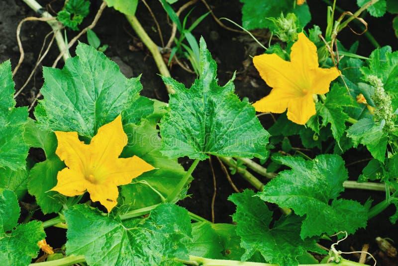 Download Kürbisblüte stockbild. Bild von gardening, nahaufnahme - 26351077