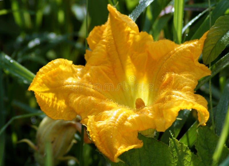 Kürbisblume im Frühsommer stockfotografie