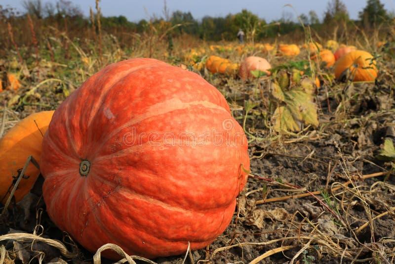 Kürbise auf Gemüsegarten lizenzfreie stockfotografie