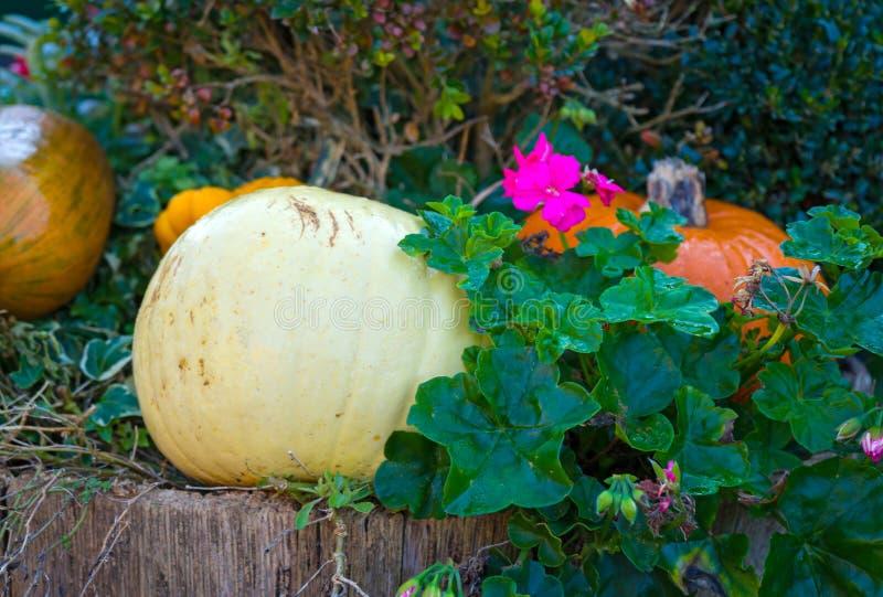 K?rbise in der h?lzernen Tonne und in den rosa Pelargonien-Blumen stockbild
