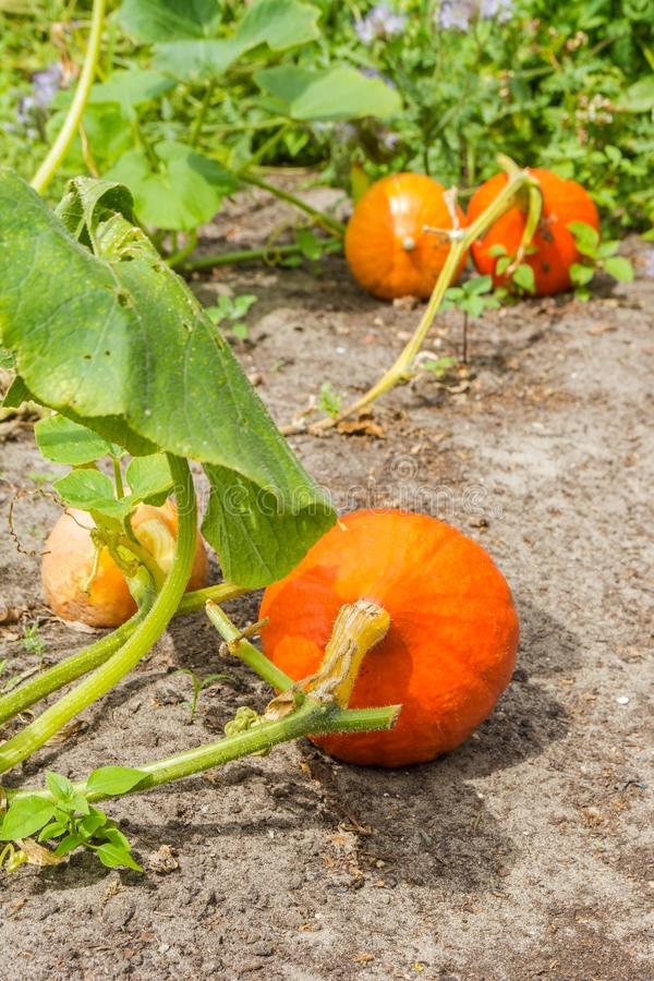 Kürbise, die Garten im im Freien bereit zur Ernte wachsen lizenzfreie stockfotografie