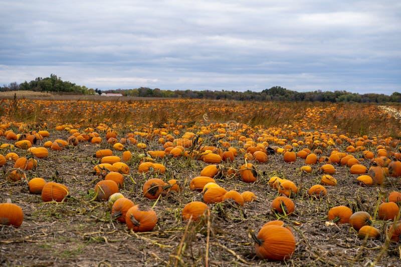 Kürbise, insoweit das Auge in einem Kürbisflecken im Oktober sehen kann stockbilder