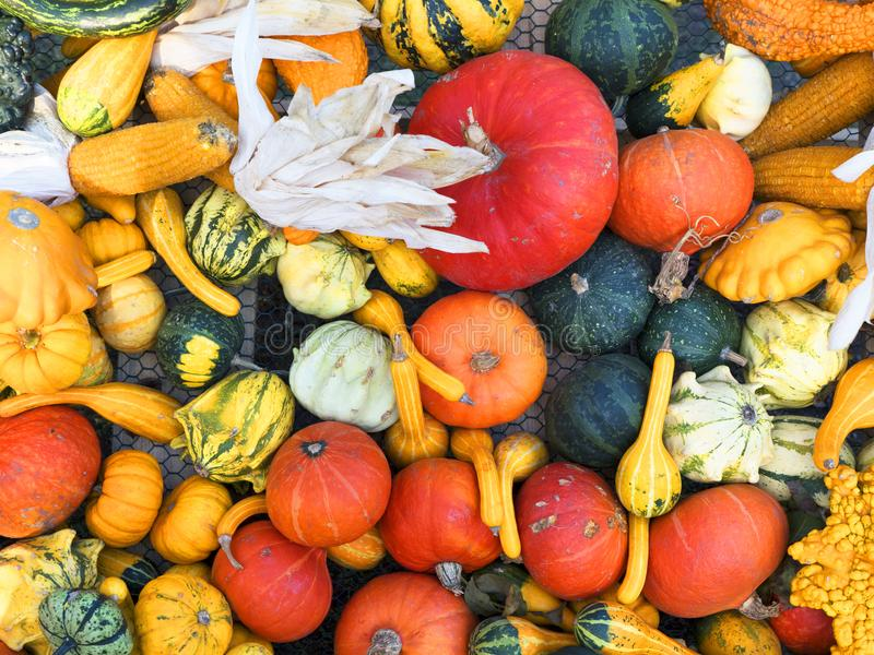 Kürbisernten Eine vektorabbildung Ländlicher rustikaler Hintergrund des Herbstes mit Eierkürbis lizenzfreie stockfotografie