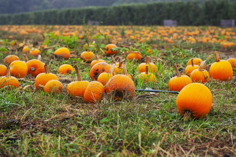 Kürbisflecken im Herbst lizenzfreie stockfotografie