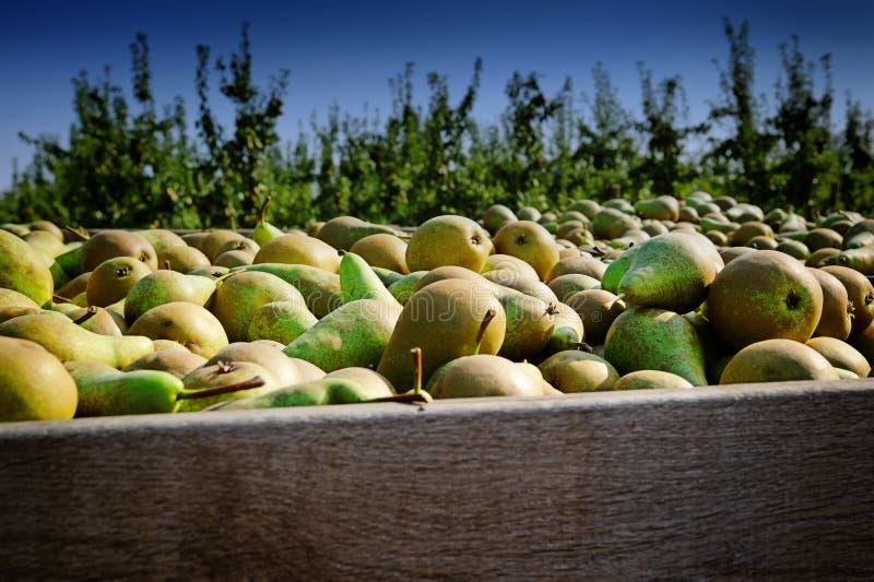 Kürzlich geerntete Birnen stockfotos