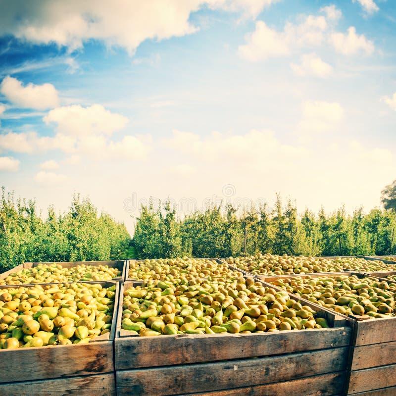 Kürzlich geerntete Birnen in den hölzernen Kisten lizenzfreies stockfoto