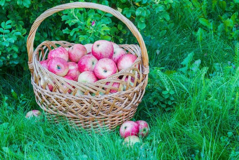 Kürzlich geerntete reife Äpfel in einem großen Weidenkorb auf dem grünen Gras im Garten stockfotos