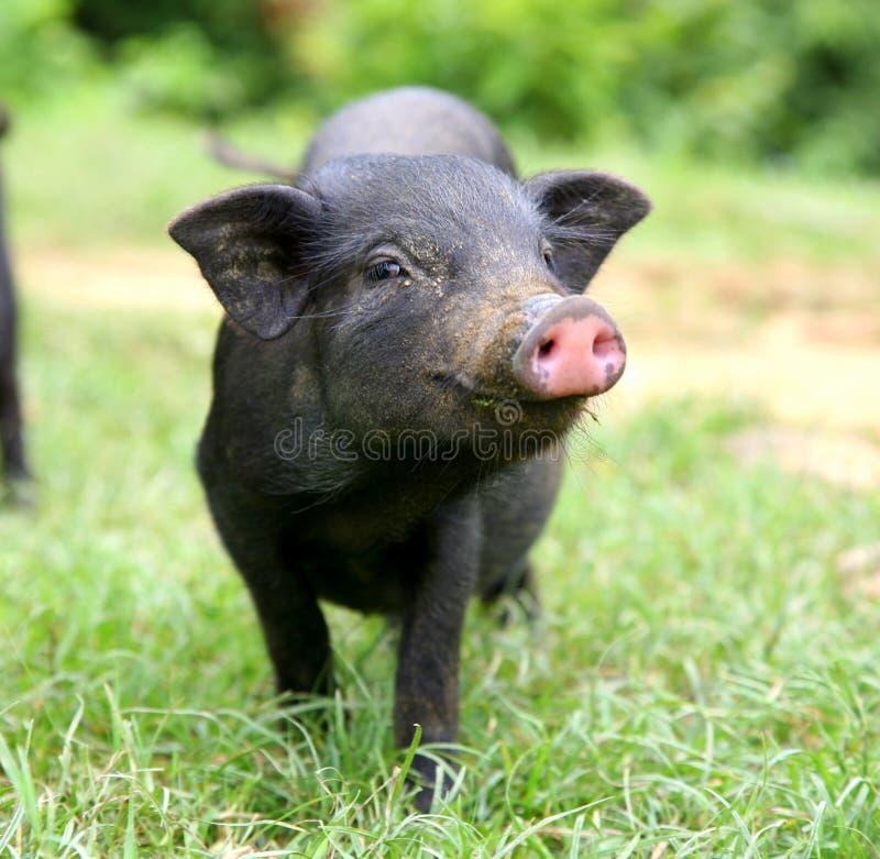 Küssen des Schweins stockfotos