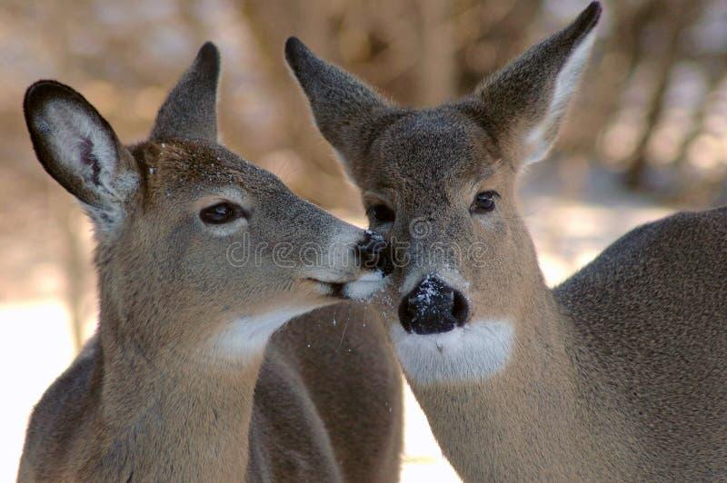 Küssen mit zwei Rotwild lizenzfreies stockfoto