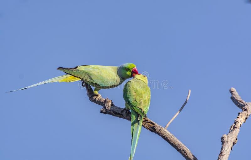 Küssen: Rose Ringed Parakeet Pair stockfotos