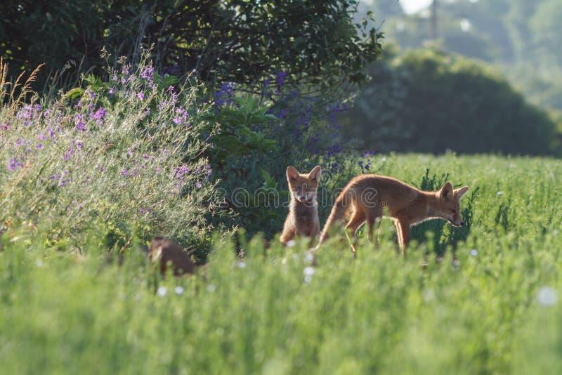 Küssen roten Fox stockbilder