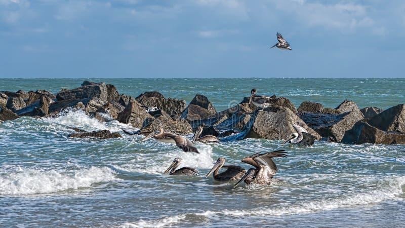 Küsten-Brown-Pelikane lizenzfreie stockbilder