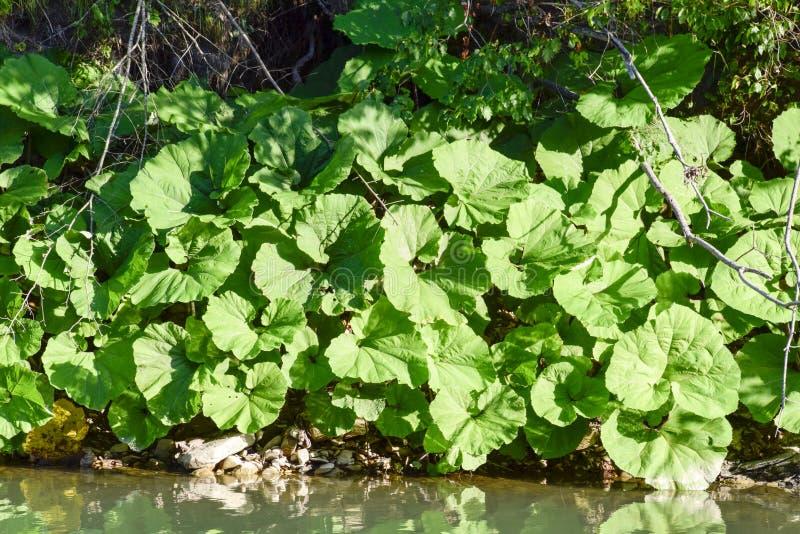 Küstenbecher Enorme Blätter von Bechern auf der Flussbank stockfotografie