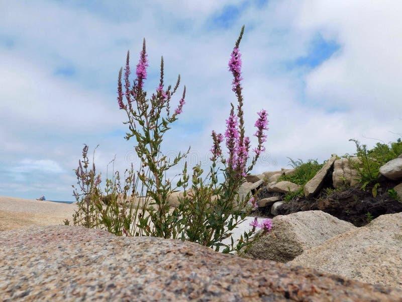 Küstenblumen von Massachusetts lizenzfreie stockbilder