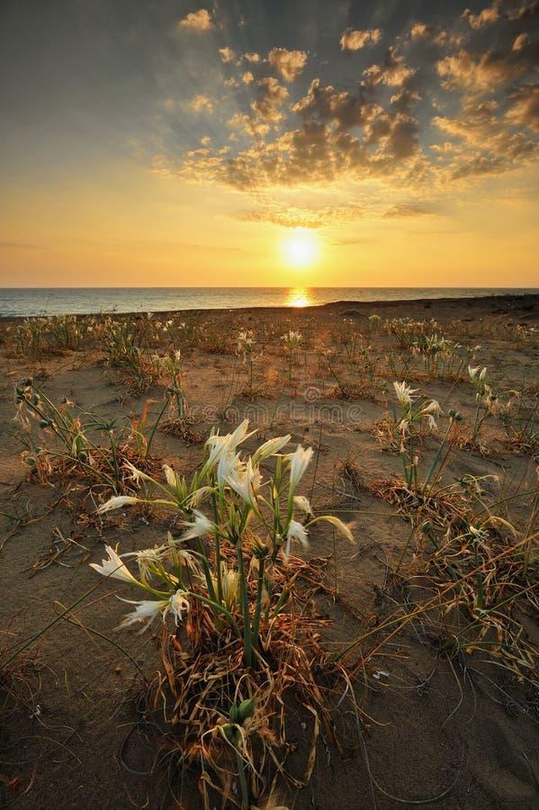 Küstenblumenfeld am Sonnenuntergang stockbild