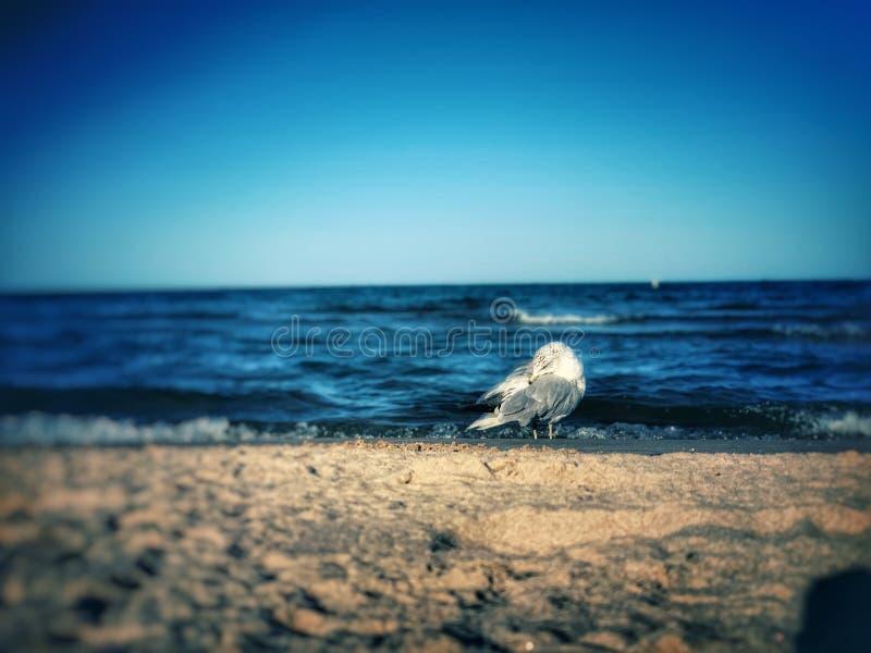 Küstenlinien-Seemöwe in der Tat lizenzfreie stockbilder