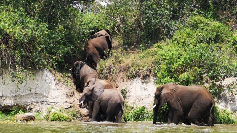 Kąpanie słoni stado w ruchu fotografia stock