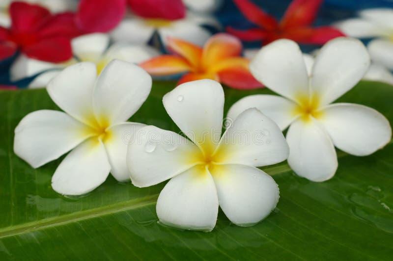 kąpielowi kwieciści frangipanis zdjęcie royalty free