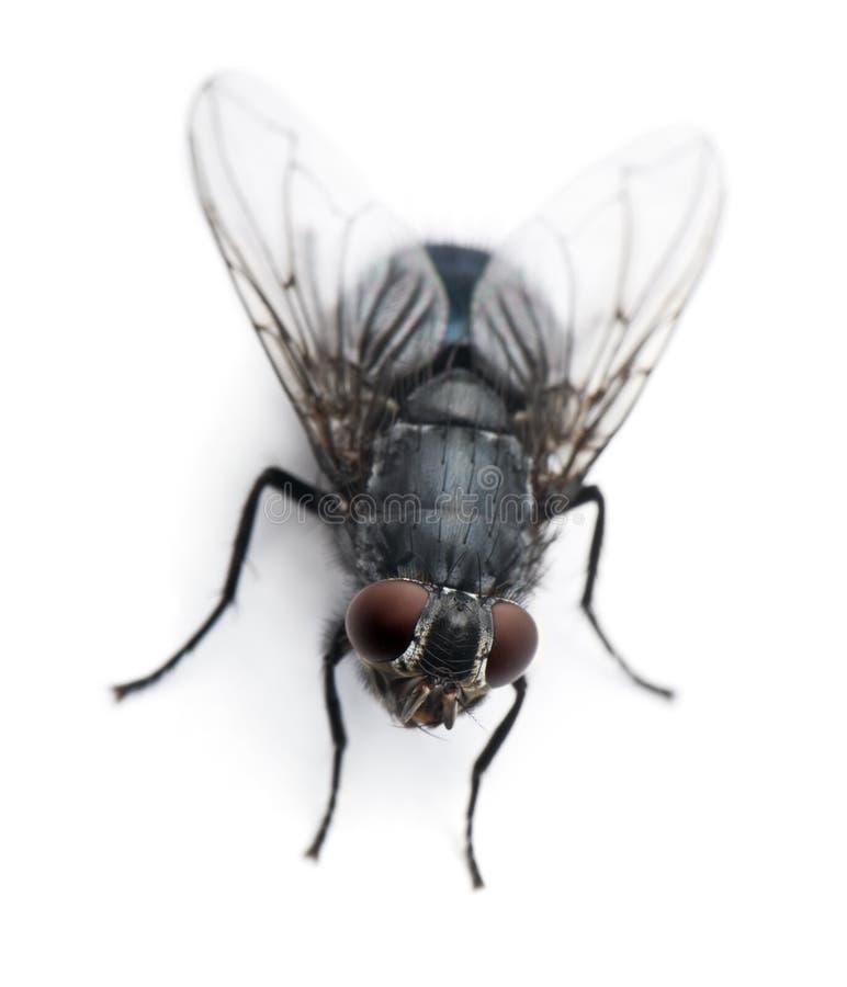 kąta domestica wysoki housefly musca widok obrazy royalty free