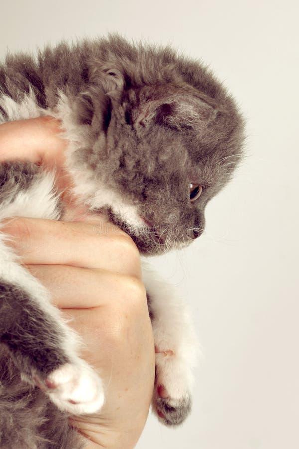 Kędzierzawe małe szarość kocą się trakenu Selkirk Rex w ludzkiej ręce, obraz stock