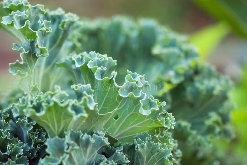 K?dzierzawego Kale zbli?enie fotografia stock