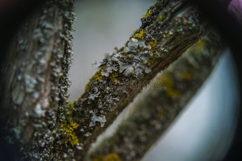 Kędzierzawy i żółty liszaj zdjęcia stock