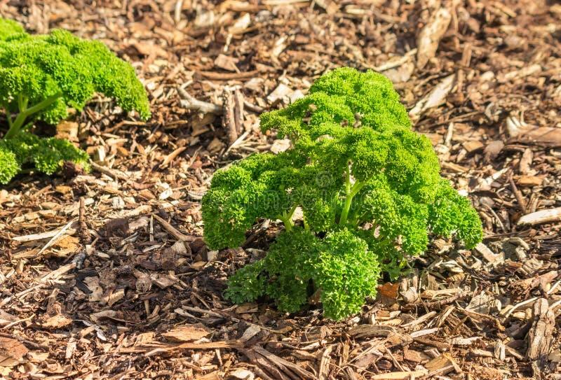 Kędzierzawy liść pietruszki dorośnięcie w jarzynowym ogródzie zdjęcie stock