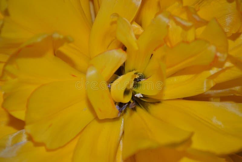 Kędzierzawy tulipan zdjęcia royalty free