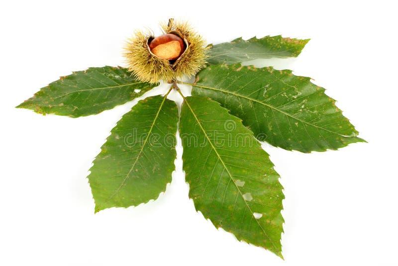 kędziorów kasztanów liście obrazy royalty free